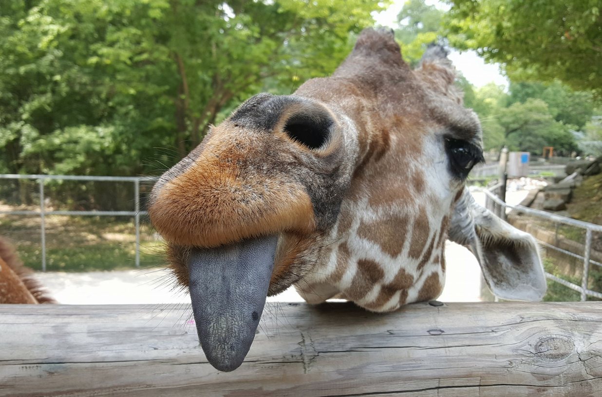 Giraffe Memphis Zoo